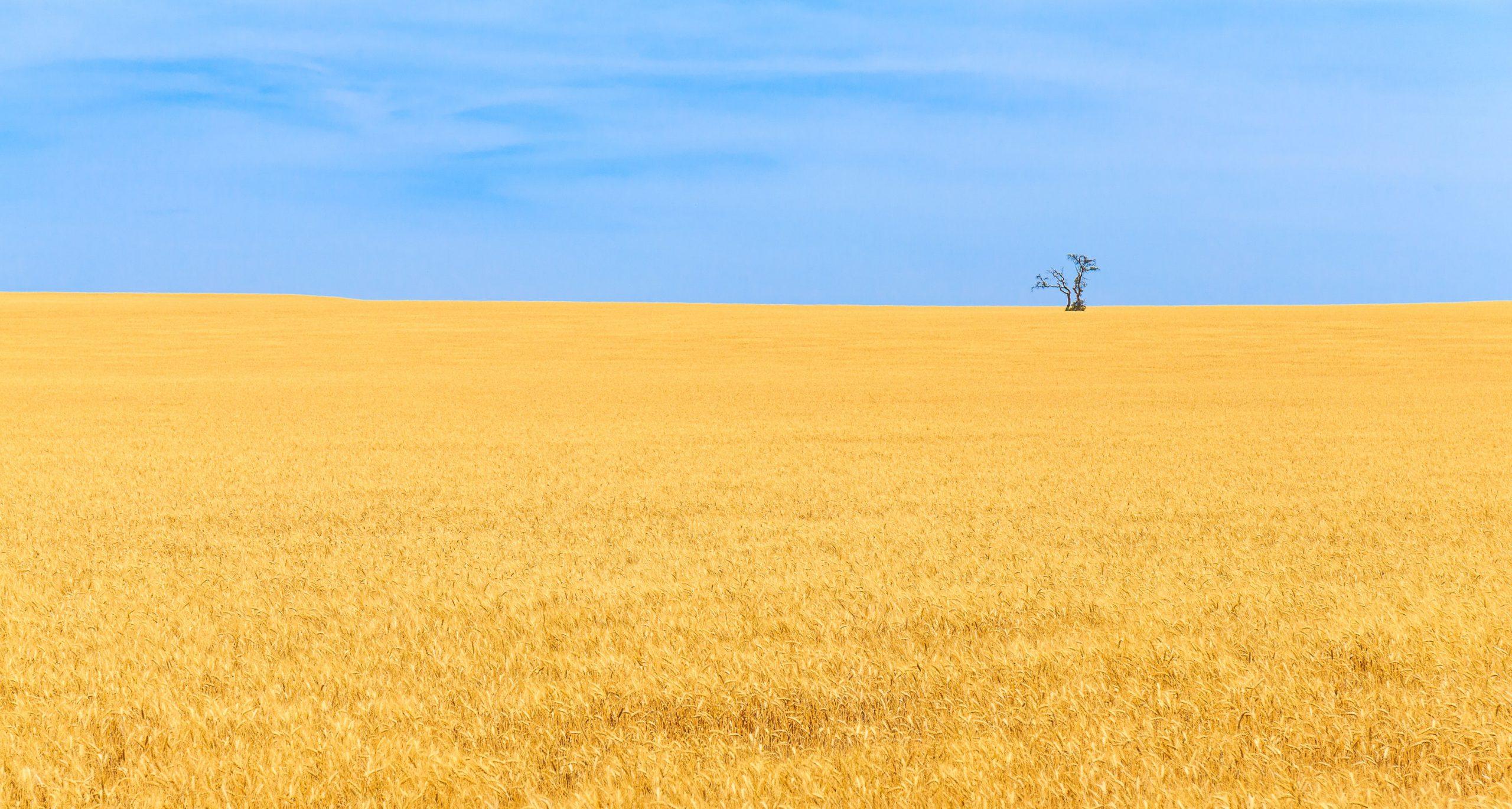 Riesiges Weizenfeld